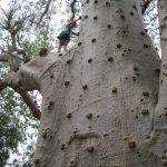 Curiosidades: La magia de los Baobabs