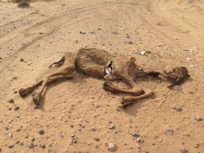 Camello muerto