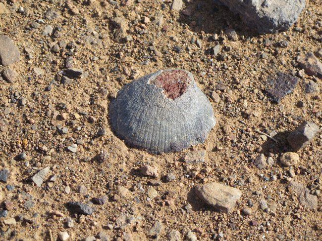 Concha fosilizada