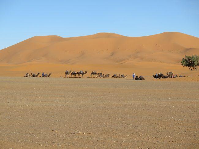 Camellos de Marruecos