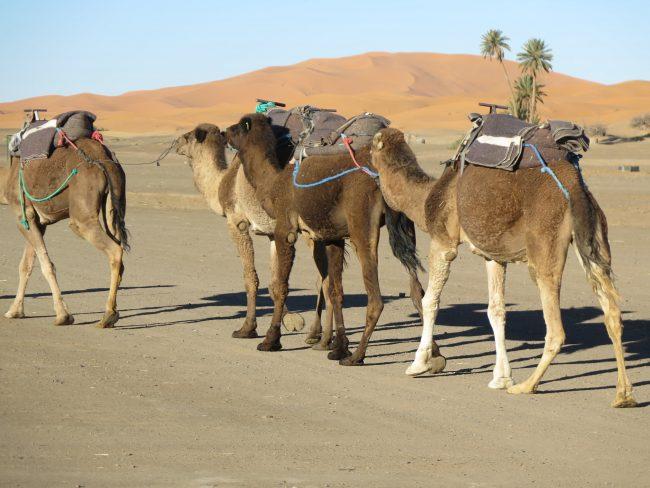 Grupo de camellos