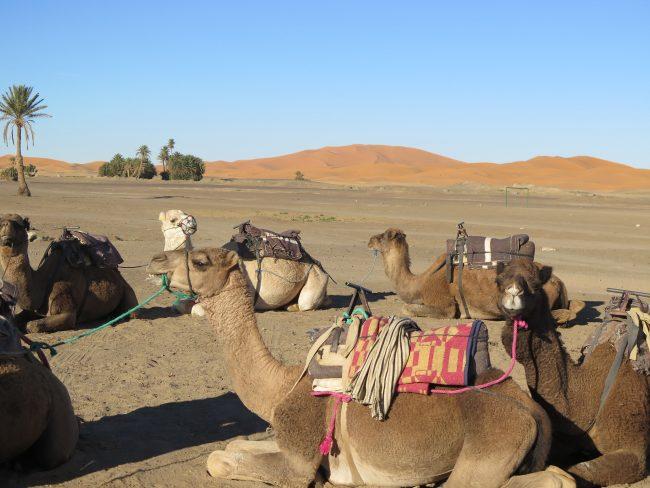 Camellos del Sáhara