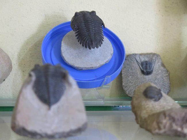 Trilobites de Alnif