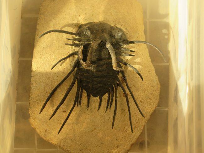 Trilobite de Alnif