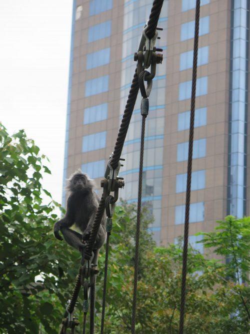 Monos en Bukit Nanas