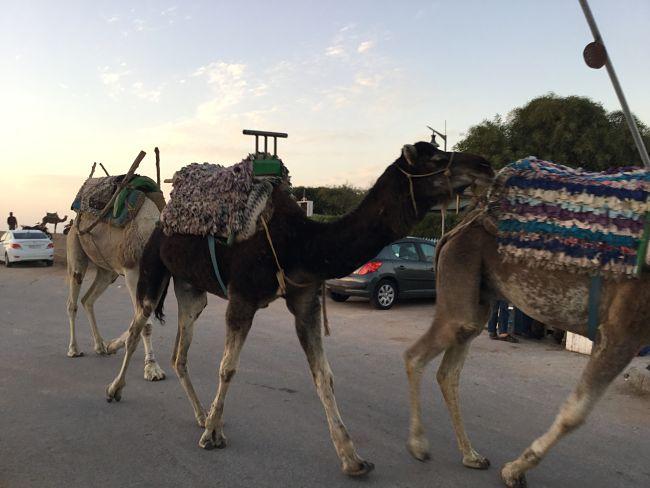 Camellos Essaouira