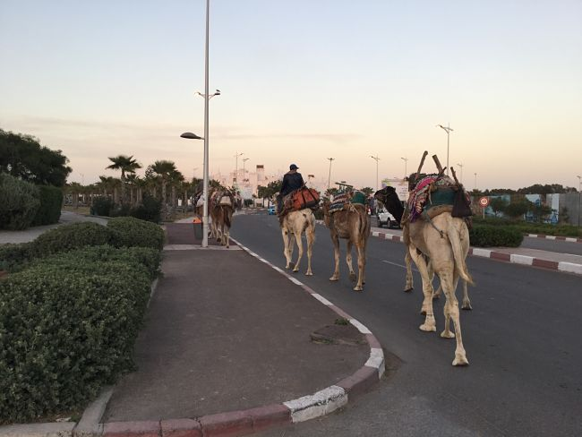 Camellos al Sur de Marruecos