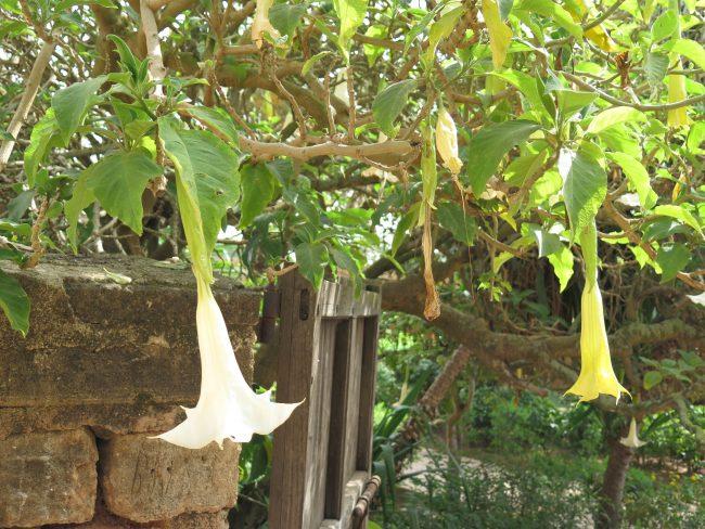 Planta de la Burundanga