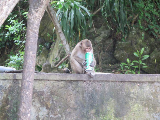 Monos borrachos
