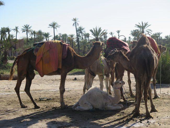 Dónde montar en Camello en Marrakech