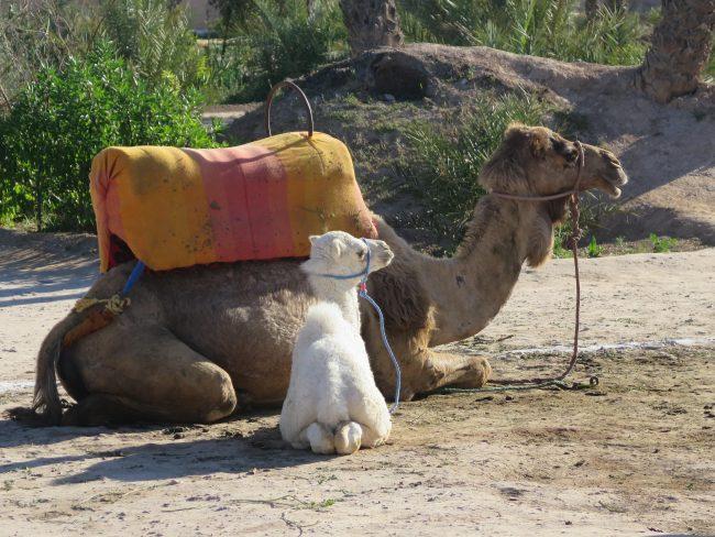Paseos en Camello en el Palmeral de Marrakech