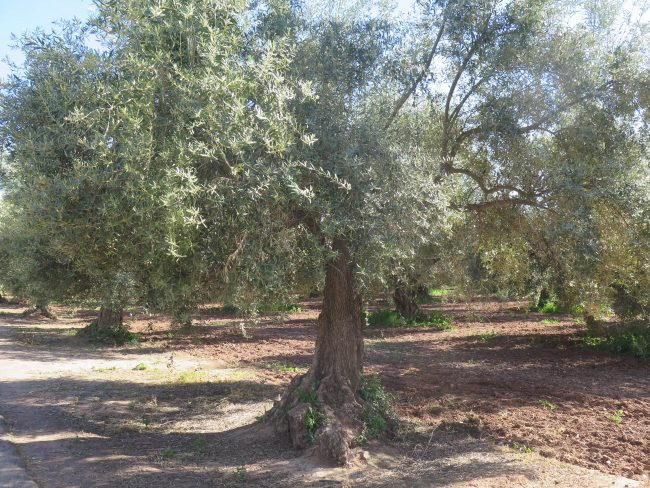 Distintas especies de olivos de los Jardines de la Menara