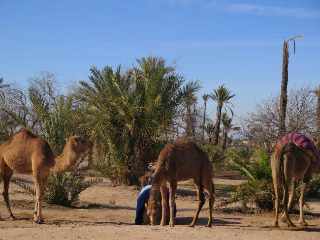 Imágenes del Palmeral de Marrakech