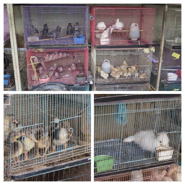 Comprar animales domésticos en Kuala Lumpur