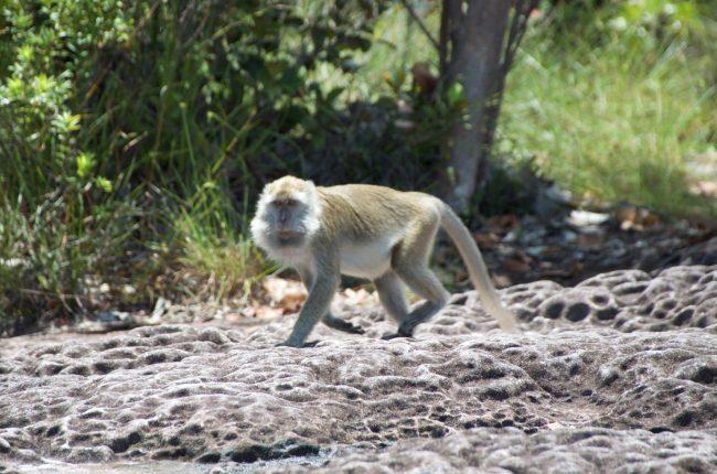 Diferentes especies de monos en el Parque Nacional de Bako