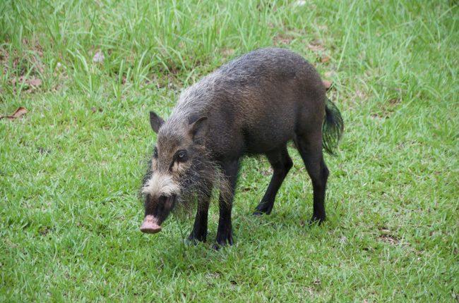 Especies animales endémicas de Borneo