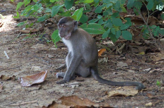 Diferentes especies de monos en Bako