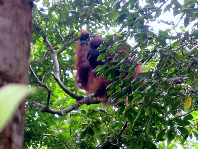 Centro de rehabilitación para orangutanes en Borneo