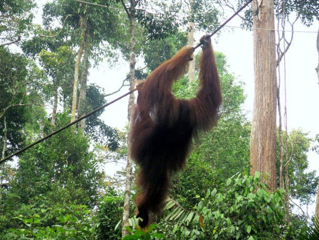 Ver orangutanes cerca de Kuching