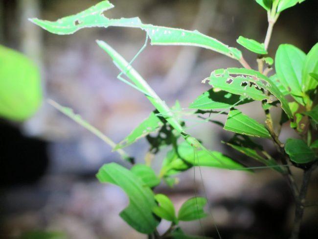 Insectos en el Parque Nacional de Bako
