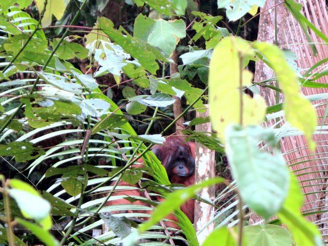 Reservas naturales para orangutanes en Borneo