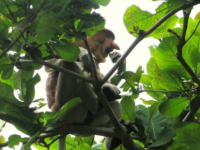 La especie de monos más rara del mundo