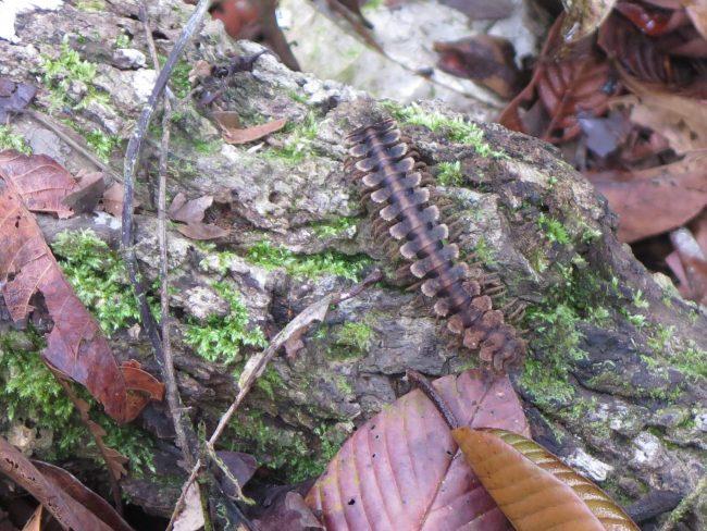 Fauna endémica de Borneo