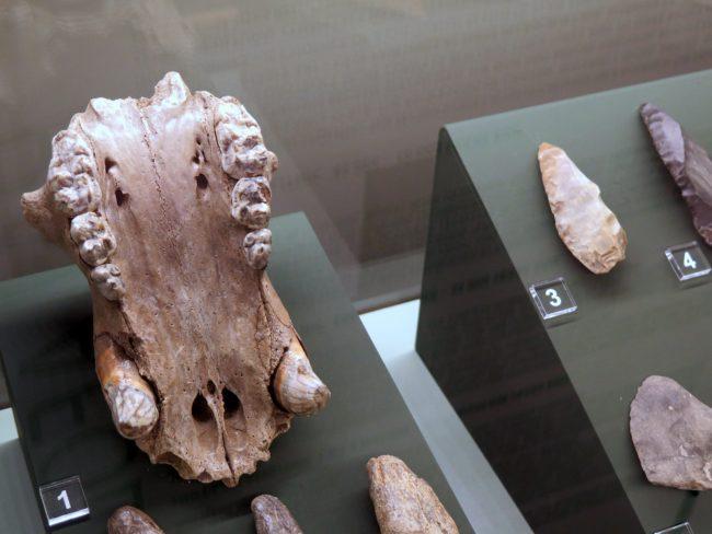 Mandíbula inferior de animal prehistórico