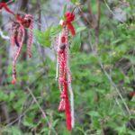 Curiosidades: ¿Por qué los búlgaros cuelgan pulseras rojas de los árboles?