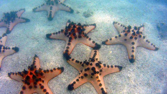 Estrellas de Mar Filipinas