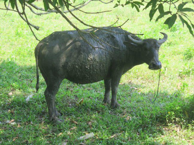 Búfalo filipino