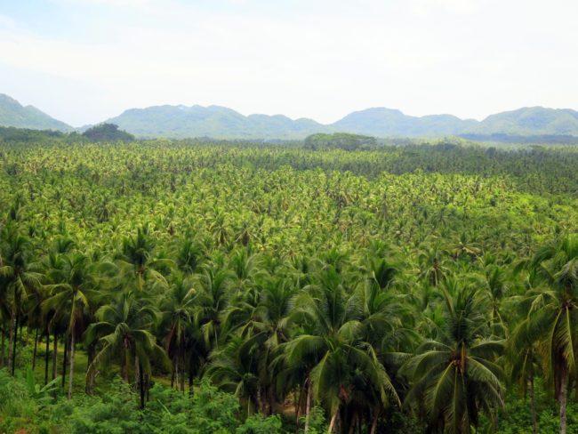 Bosque de Palmeras de Siargao