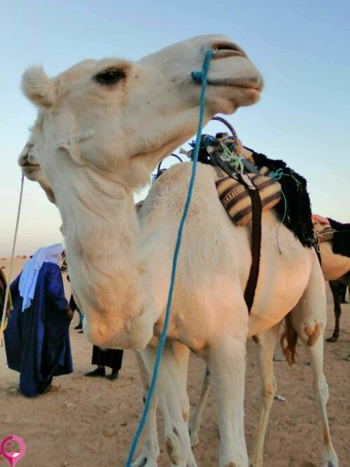 Festival del camello en Douz