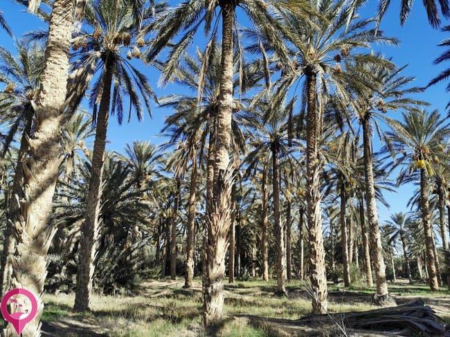 Centros productores de dátiles en Túnez