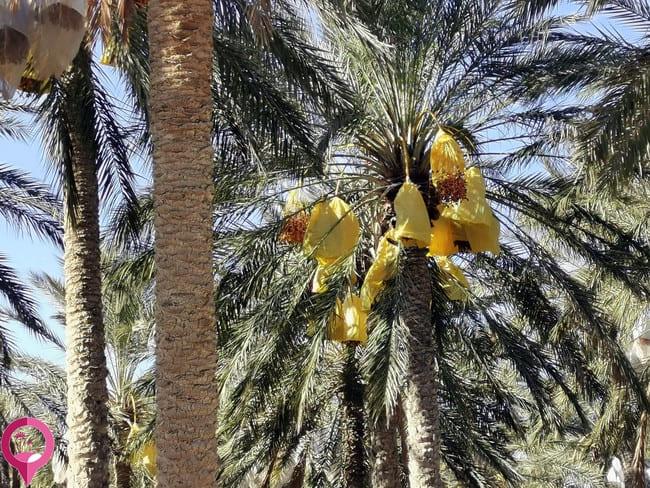 Dónde comprar dátiles en Túnez